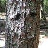 マツタケ-自然林