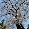 根川緑道と残堀川の桜。