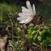 地球岬、有珠の花歩き…2017年の春ツアーはじまります!