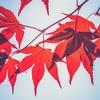紅葉が綺麗なシンボルツリーと言えば、イロハモミジです!