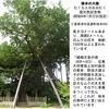 ムクノキ3 ムクは椋ではない.「椋」の本来の意味はチシャノキ .ムクノキのもう一つの漢字は樸樹.むらがりしげる樹?/ そして,ホオノキは朴の木ではない. / さらにエノキは榎ではない.この話題は続けようと思えば,どこまでも続けられそうです.