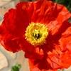 【ポピー】元気をくれるビタミンカラー!〜我が家の花壇に活力を〜