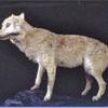 世界に4体、ニホンオオカミの剥製1体を展示へ