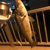 東京湾 船橋港 シーバス ダイソー アジ メバル ワーム プロトラスト  バーサタイルスティック