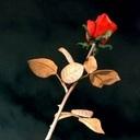 棘のない薔薇