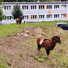 チェコの病院にムフロン