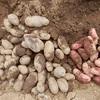 ジャガイモ、残り半分の収穫 ~ 貸農園