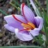 サフラン(番紅花)の花言葉とは?効能・効果は?知りたい!