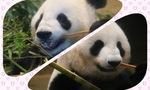 【上野動物園パンダ】最近のリーリーとシンシン夫妻♥