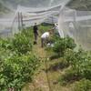 ブルーベリーの作業 今の収穫品種 バラの花