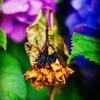 また紫陽花の季節になりました