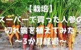 【栽培】スーパーで買った人参の切れ端を植えてみた ~3か月経過~
