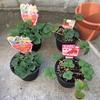 冬からいちごの栽培を始めて3ヶ月後、ついに動きが!|ベランダで鉢植えいちご栽培