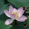 【お花見3】水元公園の蓮 (サイクリングコース7 水元公園)
