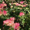 長野 薔薇の萬華園さん、片桐花卉園さん~愛知の蓮の産地さんへ