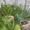 家庭菜園の工夫(蚊帳)@家庭菜園 @知恵 @お得 @虫
