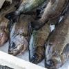 2020年4月30日 小浜漁港 お魚情報