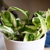 外掛けフィルタープロフィットX2のハイドロポトスを鉢植えに~外掛けは物理特化型に