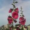 不思議な花DES