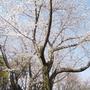 2018年の桜(近所編)