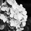#0145 千葉県の袖ヶ浦公園でのんびりしてきました。【その3】紫陽花モノクロ編