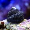 (海水魚 貝 無脊椎)コイソ貝 コケの掃除(15匹)