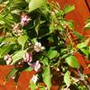 3週間留守にするとメルボルンの桜は終わっていた