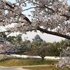 旭川さくら道の桜は満開!