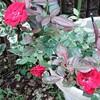 我が家のマリアンデールいっぱい咲いています。