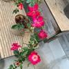 次のバラは