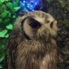 浅草|ふくろうカフェ アウルの森|メンフクロウでモフるならここ!。(更新)