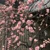 紅梅が満開になりました@好文画廊