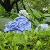 《旅日記》【写真館347】鎌倉・明月院のアジサイを撮影した!
