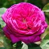 2013/05/13 ハイディクルムローズがキレイに咲きました