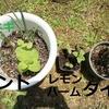 【ハーブのある暮らし】初心者が庭で育てたハーブを使ってみた感想