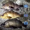 3種のメバルを食べ比べてみた!シロ、アカ、クロメバルそれぞれで食感や風味が違った!