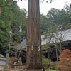 樹齢1,200年、河口浅間神社の天然記念物の七本杉と雄大な富士山から何を感じるのか。