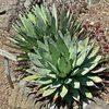 【メキシコ原産・マヤの太陽の終了】滋賀県守山市でサボテン「アガベ・マクロアカンサ」が100年振りの花を咲かす【スペインの太陽・豚コレラへ前進】
