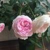 クロチルド スーペル(粉粧楼)は秋に本気出すタイプ