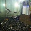 奇形の熱帯魚
