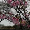 三月さくら オカメ桜 2012 新宿御苑 sakura