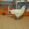 並うずらのデンチャン、烏骨鶏のランチャンと遊ぶ。