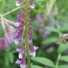 遅まきヘアリーベッチとハチの大集合