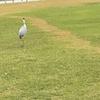 広島平和記念公園に舞い降りていましたこの鳥は?ナベヅル?マナヅル?それとも、、、