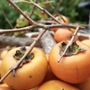 【柿】収穫と日持ちする簡単保存方法