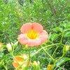 凌霄花(ノウゼンカズラ)の花