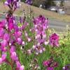 荒地に鮮やかな色合い 姫金魚草⁉︎