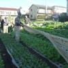 <農業講座日記> カブのうねに被覆材 野菜4種類を収穫(11月19日)