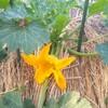 5月24日家の家庭菜園「ズッキーニの受粉」