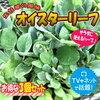 【オイスターリーフ】葉物野菜なのに牡蠣みたいな風味!?!?